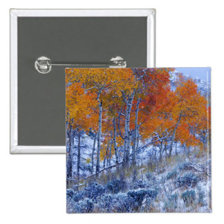 Aspen trees in Fall colors, Bighorn Mountains, Button