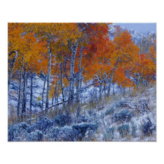 Aspen trees in Fall colors, Bighorn Mountains, Poster