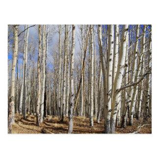 Aspen Trees in Winter Postcard