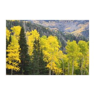 Aspen Trees (Populus Tremuloides) And Conifers 2 Canvas Print
