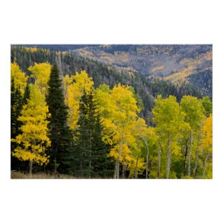 Aspen Trees (Populus Tremuloides) And Conifers 2 Poster