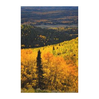 Aspen Trees (Populus Tremuloides) And Conifers Canvas Print