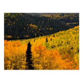 Aspen Trees (Populus Tremuloides) And Conifers Postcard