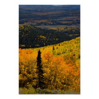 Aspen Trees (Populus Tremuloides) And Conifers Poster