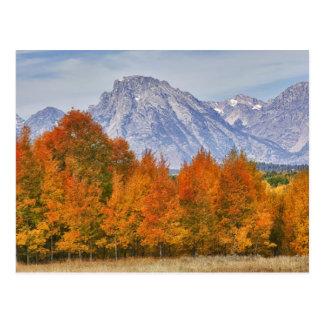 Aspen trees with the Teton mountain range 5 Postcard