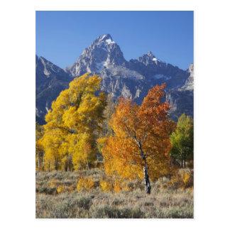 Aspen trees with the Teton mountain range 6 Postcard