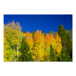 Aspens Aflame Poster