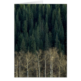 Aspens and spruce forest, Sheep River Valley, Albe Greeting Card