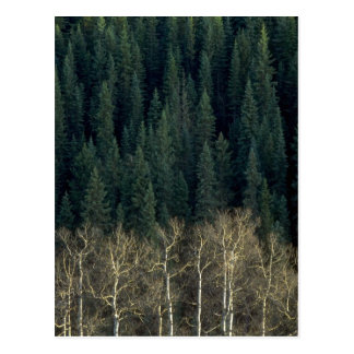 Aspens and spruce forest, Sheep River Valley, Albe Postcard