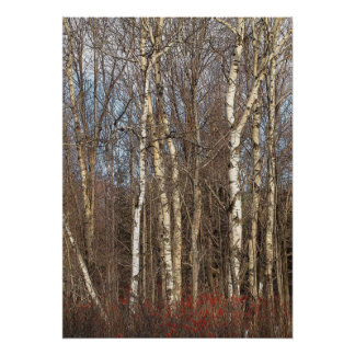 Aspens and Winterberry Poster