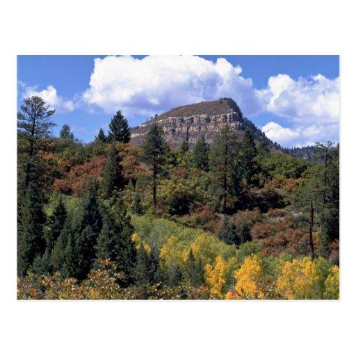 Aspens, Colorado Rockies Postcard