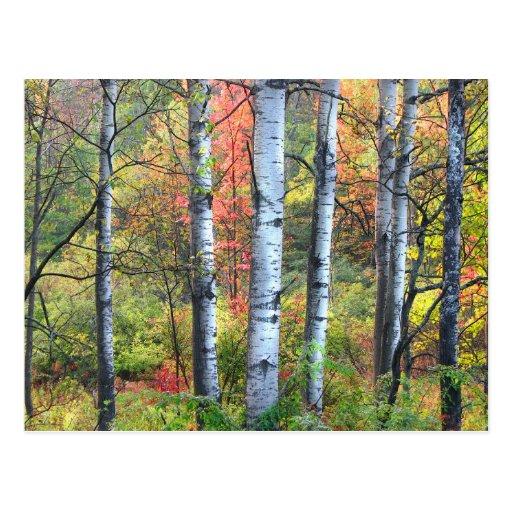 Aspens in Autumn Postcard