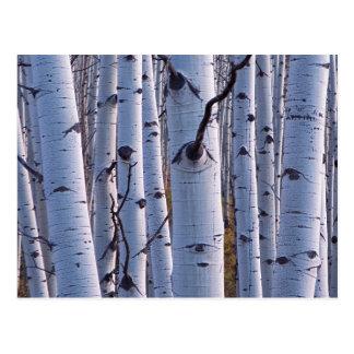 Aspens In Gunnison National Park Postcard