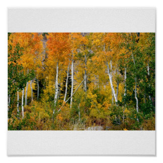 Aspens in the Fall Posters