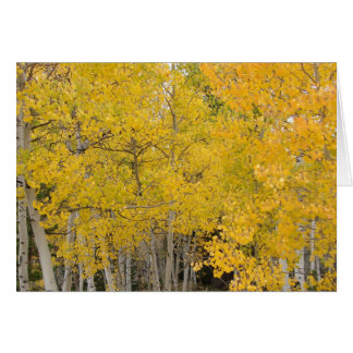 Aspens on the Colorado Trail Greeting Card