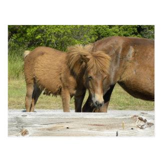 Assateague foal postcard