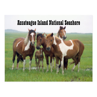 Assateague Horses Postcard