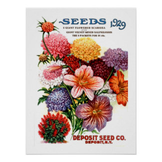 Assorted Scabiosa & Salpiglossis (Painted Tongue) Poster
