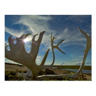Astas del caribú en la tierra arenosa en postal