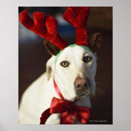 Astas del reno del perro que llevan póster