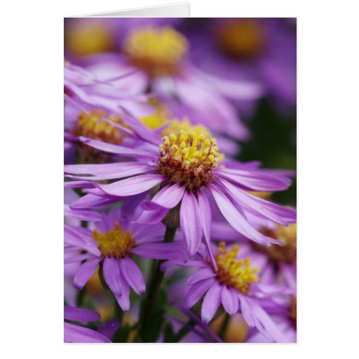 Aster flowers on a blank card