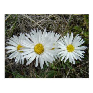 Aster liso de los Wildflowers blancos F0042 Postales