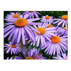 Aster Tongolensis Wartburg Star Purple Flower Post Card