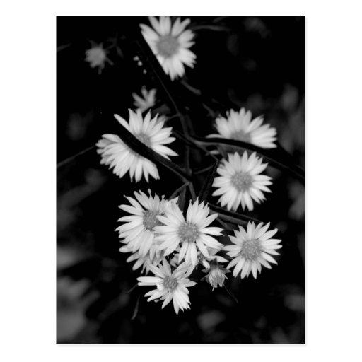 Asteres blancos - postal de la fotografía de la be