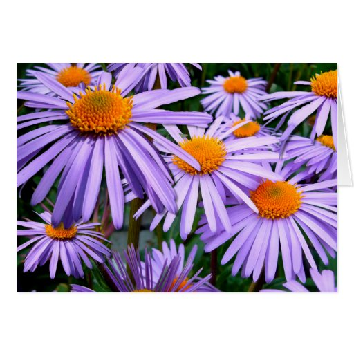 Asteres púrpuras bonitos tarjeta pequeña