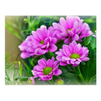 Asteres rosados tarjetas postales