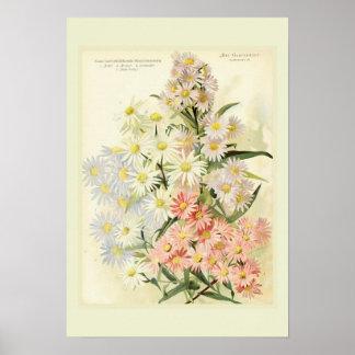 Asters (Michaelmas daisy) Poster