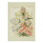 Asters (Michaelmas daisy) Posters