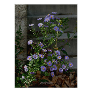 Asters, Stone Steps, Susanville, California Poster