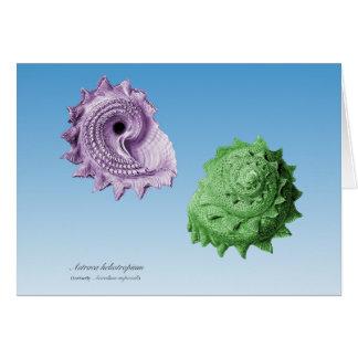 Astraea heliotropium card