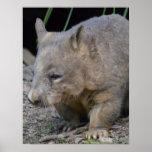 Astralian Wombat Posters