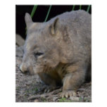Astralian Wombat Print