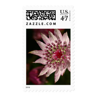 Astrantia Close Up Postage Stamp