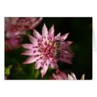 Astrantia with Bee card