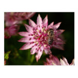 Astrantia with Bee Post Card