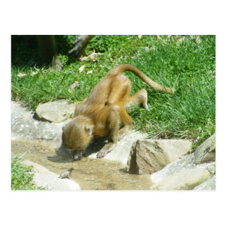 At the Watering Hole: Baby Baboon Postcard