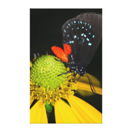 Atala hairstreak on flower, Eumaeus Atala Canvas Print