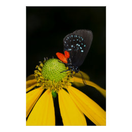 Atala hairstreak on flower, Eumaeus Atala Poster