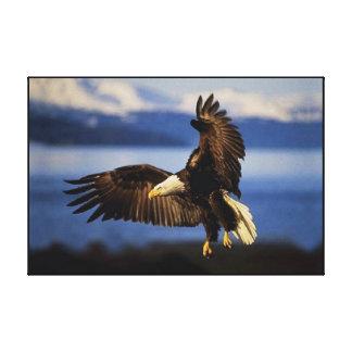 Aterrizaje de Eagle calvo envuelto Lona Envuelta Para Galerías