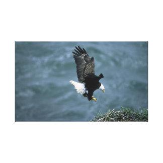 Aterrizaje de Eagle calvo Lienzo Envuelto Para Galerías