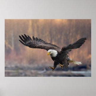 Aterrizaje de Eagle calvo Póster