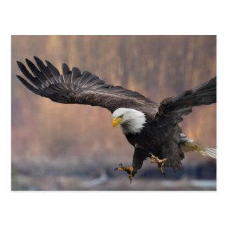 Aterrizaje de Eagle calvo Tarjeta Postal