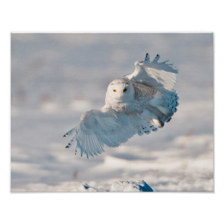 Aterrizaje del búho Nevado en nieve Poster