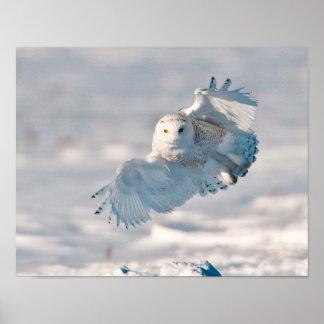 Aterrizaje del búho Nevado en nieve Póster