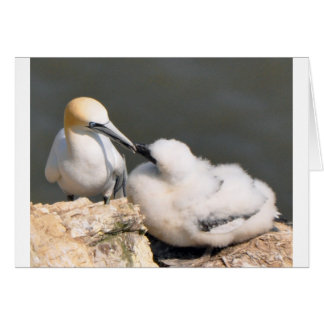 Atlantic Gannet with chick Card