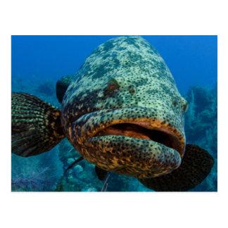 Atlantic Goliath Grouper Postcard
